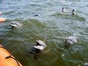 Dolphins awaiting rescue after Katrina