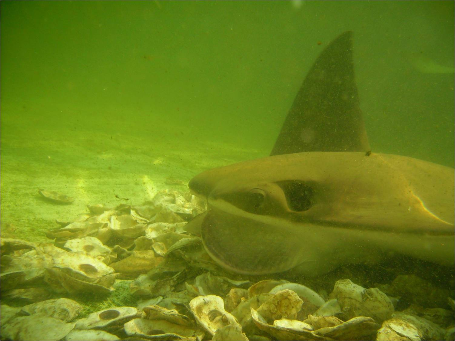 Cownose ray planet ocean news for Plante 94 pourcent